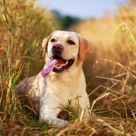 Labradoro retriveris informacija, nuotraukos, charakteris, šunų vardai, šuniuko kaina, hipoalerginis: ne