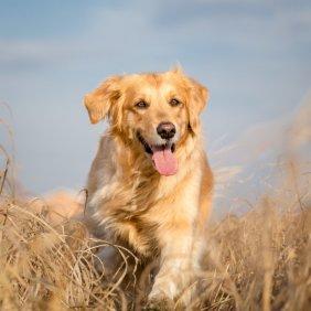 Auksaspalvis retriveris informacija, nuotraukos, charakteris, šunų vardai, šuniuko kaina, hipoalerginis: ne