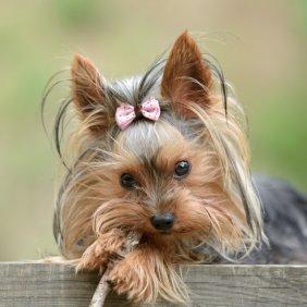 Jorkšyro terjeras informacija, nuotraukos, charakteris, šunų vardai, šuniuko kaina, hipoalerginis: taip