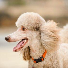Pudelis informacija, nuotraukos, charakteris, šunų vardai, šuniuko kaina, hipoalerginis: taip