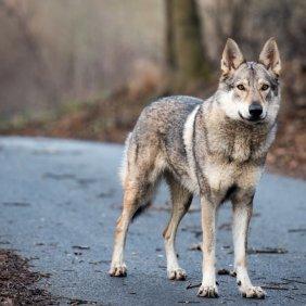 Čekoslovakų Vilkšunis informacija, nuotraukos, charakteris, šunų vardai, šuniuko kaina, hipoalerginis: ne