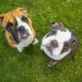 Anglų buldogas informacija, nuotraukos, charakteris, šunų vardai, šuniuko kaina, hipoalerginis: ne