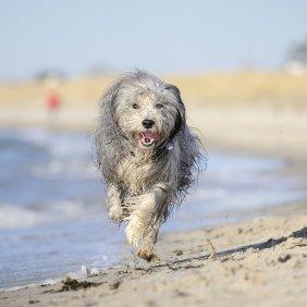 Barzdotasis kolis informacija, nuotraukos, charakteris, šunų vardai, šuniuko kaina, hipoalerginis: ne