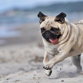 Mopsas informacija, nuotraukos, charakteris, šunų vardai, šuniuko kaina, hipoalerginis: ne