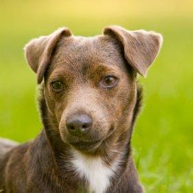 Paterdalio terjeras informacija, nuotraukos, charakteris, šunų vardai, šuniuko kaina, hipoalerginis: ne