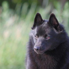 Šiperkė informacija, nuotraukos, charakteris, šunų vardai, šuniuko kaina, hipoalerginis: ne