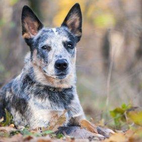 Australijos ganymo šuo informacija, nuotraukos, charakteris, šunų vardai, šuniuko kaina, hipoalerginis: ne