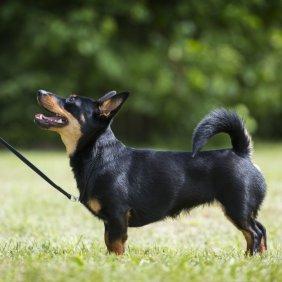 Lankašyro hileris informacija, nuotraukos, charakteris, šunų vardai, šuniuko kaina, hipoalerginis: ne
