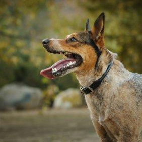 Australų trumpauodegis aviganis informacija, nuotraukos, charakteris, šunų vardai, šuniuko kaina, hipoalerginis: ne