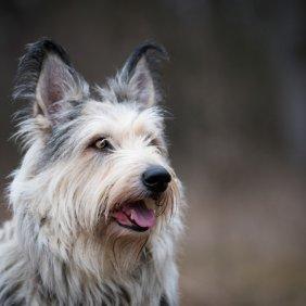 Pikardijos aviganis informacija, nuotraukos, charakteris, šunų vardai, šuniuko kaina, hipoalerginis: ne