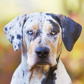 Katahulos leopardinis šuo informacija, nuotraukos, charakteris, šunų vardai, šuniuko kaina, hipoalerginis: ne