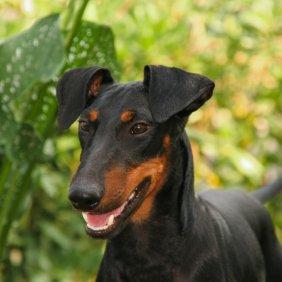 Mančesterio terjeras informacija, nuotraukos, charakteris, šunų vardai, šuniuko kaina, hipoalerginis: ne