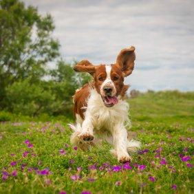 Valų springerspanielis (Velso) informacija, nuotraukos, charakteris, šunų vardai, šuniuko kaina, hipoalerginis: ne