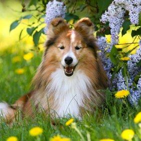 Šeltis (mini kolis) informacija, nuotraukos, charakteris, šunų vardai, šuniuko kaina, hipoalerginis: ne