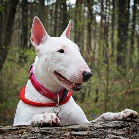 Bulterjeras informacija, nuotraukos, charakteris, šunų vardai, šuniuko kaina, hipoalerginis: ne