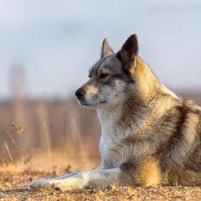 Rytų Sibiro laika informacija, nuotraukos, charakteris, šunų vardai, šuniuko kaina, hipoalerginis: ne