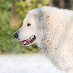 Kuvasas informacija, nuotraukos, charakteris, šunų vardai, šuniuko kaina, hipoalerginis: ne