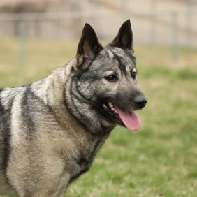 Norvegų elkhundas informacija, nuotraukos, charakteris, šunų vardai, šuniuko kaina, hipoalerginis: ne