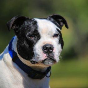 Stafordšyro bulterjeras informacija, nuotraukos, charakteris, šunų vardai, šuniuko kaina, hipoalerginis: ne