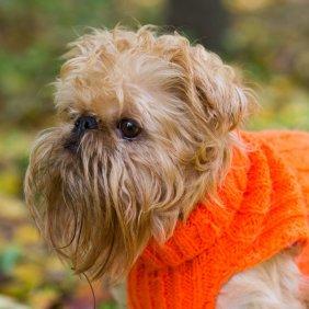 Briuselio grifonas informacija, nuotraukos, charakteris, šunų vardai, šuniuko kaina, hipoalerginis: taip