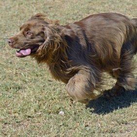 Sasekso spanielis informacija, nuotraukos, charakteris, šunų vardai, šuniuko kaina, hipoalerginis: ne