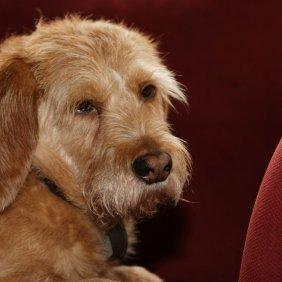 Bretonės Rudasis Basetas informacija, nuotraukos, charakteris, šunų vardai, šuniuko kaina, hipoalerginis: ne