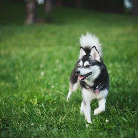 Aliaskos Klee Kai informacija, nuotraukos, charakteris, šunų vardai, šuniuko kaina, hipoalerginis: ne