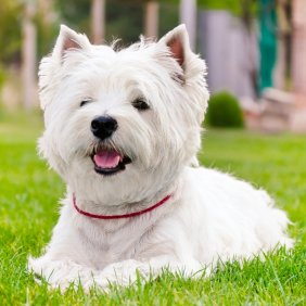 Vakarų Škotijos baltasis terjeras informacija, nuotraukos, charakteris, šunų vardai, šuniuko kaina, hipoalerginis: taip