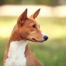 Basendžis informacija, nuotraukos, charakteris, šunų vardai, šuniuko kaina, hipoalerginis: taip