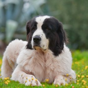Landsyras informacija, nuotraukos, charakteris, šunų vardai, šuniuko kaina, hipoalerginis: ne