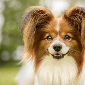 Žemyninis Dekoratyvinis Spanielis informacija, nuotraukos, charakteris, šunų vardai, šuniuko kaina, hipoalerginis: ne