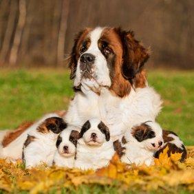 Senbernaras informacija, nuotraukos, charakteris, šunų vardai, šuniuko kaina, hipoalerginis: ne