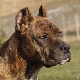 Ispanų Alano informacija, nuotraukos, charakteris, šunų vardai, šuniuko kaina, hipoalerginis: ne