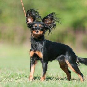 Rusų toiterjeras informacija, nuotraukos, charakteris, šunų vardai, šuniuko kaina, hipoalerginis: ne