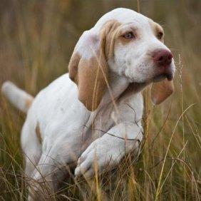 Arježo Brakas informacija, nuotraukos, charakteris, šunų vardai, šuniuko kaina, hipoalerginis: ne