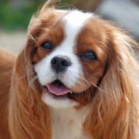 Kavalieriaus karaliaus Karolio spanielis informacija, nuotraukos, charakteris, šunų vardai, šuniuko kaina, hipoalerginis: ne
