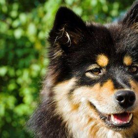 Suomių laphundas informacija, nuotraukos, charakteris, šunų vardai, šuniuko kaina, hipoalerginis: ne