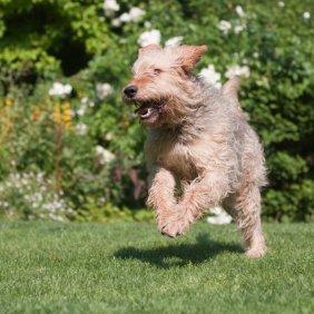 Ūdrinis šuo informacija, nuotraukos, charakteris, šunų vardai, šuniuko kaina, hipoalerginis: ne
