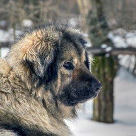 Jugoslavų aviganis informacija, nuotraukos, charakteris, šunų vardai, šuniuko kaina, hipoalerginis: ne