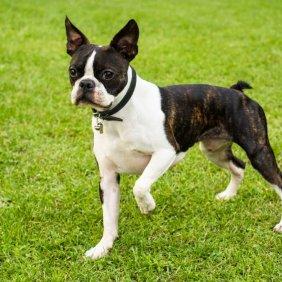 Bostono terjeras informacija, nuotraukos, charakteris, šunų vardai, šuniuko kaina, hipoalerginis: ne