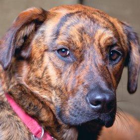 Plott Hound informacija, nuotraukos, charakteris, šunų vardai, šuniuko kaina, hipoalerginis: ne