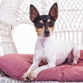 Amerikiečių fox toiterjeras informacija, nuotraukos, charakteris, šunų vardai, šuniuko kaina, hipoalerginis: ne