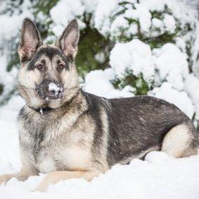 Shiloh aviganis informacija, nuotraukos, charakteris, šunų vardai, šuniuko kaina, hipoalerginis: ne