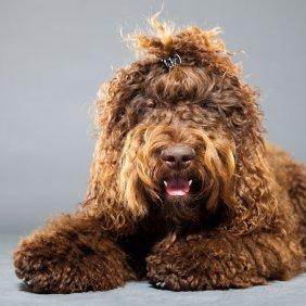 Barbetas informacija, nuotraukos, charakteris, šunų vardai, šuniuko kaina, hipoalerginis: taip