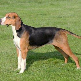 Hamiltono skalikas informacija, nuotraukos, charakteris, šunų vardai, šuniuko kaina, hipoalerginis: ne