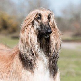 Afganų kurtas informacija, nuotraukos, charakteris, šunų vardai, šuniuko kaina, hipoalerginis: taip
