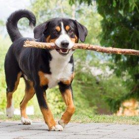 Entlebucho zenenhundas informacija, nuotraukos, charakteris, šunų vardai, šuniuko kaina, hipoalerginis: ne