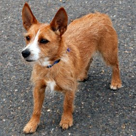 Portugalų podengas informacija, nuotraukos, charakteris, šunų vardai, šuniuko kaina, hipoalerginis: ne