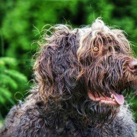 Pudelpointeris informacija, nuotraukos, charakteris, šunų vardai, šuniuko kaina, hipoalerginis: ne
