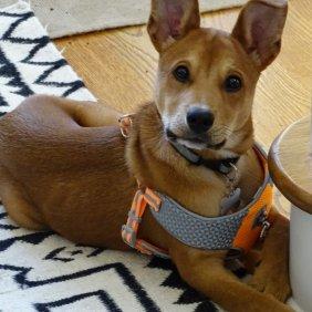 Karolinos šuo informacija, nuotraukos, charakteris, šunų vardai, šuniuko kaina, hipoalerginis: ne